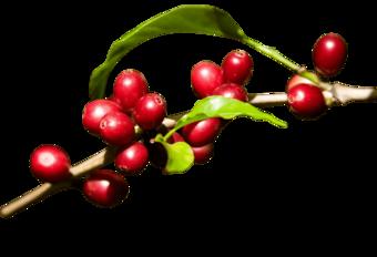 Rama de cafe